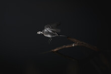 Wagtail Soaring Above Tree Twig On Black Background