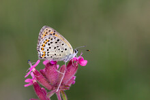 Lycaena Tityrus, A Butterfly Resting On A Pink Flower