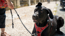 Portrait Of A Large Black Dog In Harness