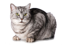 Silver Tabby Cat Isolated On White