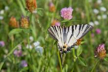 Scarce Swallowtail Butterfly In A Meadow