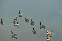 Canada Goose (Branta Canadensis) Swimming In Medicine Lake