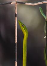 A Beleza Da Cobra