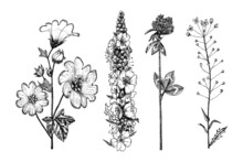 Althaea And Clover Or Trefoil And Capsella And Mullein Or Verbascum. Botanical Plant Illustration. Vintage Herbaceous Perennial Herbs. Hand Drawn Floral Bouquets And Wildflowers In Sketch Style.