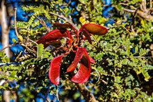 Glossy Red Seedpods On Leafy Green Tree