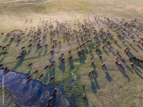 Domestic buffalos crossing a lake in the Kayseri city. Buffaloes bathing in river