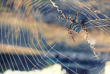 Argiope Spider Spinning Its Cobweb Outdoors On Sunny Day, Closeup