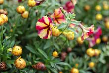 Closeup Shot Of A Petunia Flower Grown In The Garden
