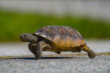Wild Adult Florida Gopher Tortoise - Gopherus Polyphemus - Crossing Yellow Line Of Highway