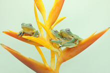 Three Green Tree Frogs Are Resting On A Wildflower. This Amphibian Has The Scientific Name Rhacophorus Reinwardtii.
