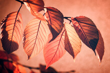 Backlit Red Fall Leaves On A Tree Branch, Pink Background