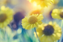 Yellow Flowers Sunny Sunrise Summer Field Background