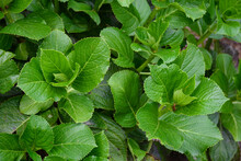Hydrangea Leaves, Leaves Are Thick, Shiny And Heart-shaped