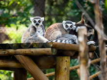 Ring Tailed Lemurs Looking At The Camera.