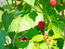 Raspberries Growing On A Branch On A Sunny Day