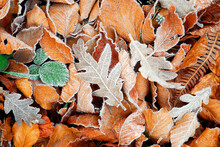 Oak And Beech Leaves On The Floor