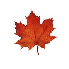 Autumn Maple Leaf Of Red Color On A White Background
