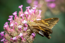 Close Up Shot Of Moth On A Pink Flower