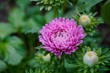 Single Pink Aster Flower Growing In A Flower Garden. Several Flower Buds, Lots Of Greenery.