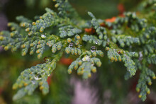 A Close Up Image Of A Western Cedar Tree Bough Covered In Tiny Rain Drops.