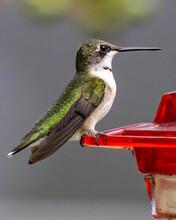 Ruby Throated Hummingbird Feeding At The Feeder
