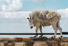 Mountain Goat Stands On Top Of A Ledge, Enjoying The Scenic View At The Summit Of Mt Evans Scenic Byway In Colorado