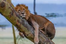 Old Male Lion Resting On A Tree Trunk - Nakuru, Kenya