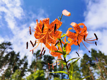 View From Below Of A Flowering Lily Lanceolate-tiger Lily (Latin Lilium Lancifolium Thunb (Lilium Tigrinum Ker-Gawl.) In Raindrops Against A Blue Sky With Clouds.