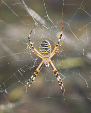 Argiopa Spider In A Natural Habitat On A Meadow In The South Of Ukraine In Its Web, Close-up In The Afternoon In Summer.