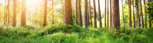 Panoramic View Of Pine Forest In The Morning