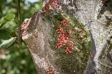 Pyrrhocoris Apterus Bug Family, Commonly Known As Firebug