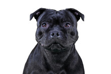 Isolated Close-up Portrait Of Staffordshire Bull Terrier Breed Dog Of Black Color On Empty White Background. Serious Face Expression, Smart Purebred Pet With Attentive Look. Copy Space.