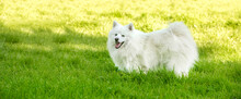 Adorable White Dog Japanese Spitz Puppy On Natural Background