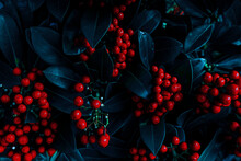 Christmas Background With Red Berries