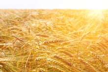 Ripe Golden Ears Of Wheat Bent Under The Weight Of Grain In The Field. A Bright Sunny Summer Day.