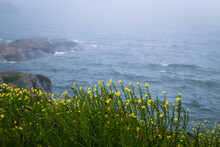 Northern Landscape - Field Of Yellow Wild Flowers Up On A Cliff By A Foggy Sea.