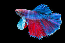 Halfmoon Betta Splendens Fighting Fish In Thailand On Isolated Black Background. The Moving Moment Beautiful Of Blue And Red Siamese Betta Fish With Copy Space.