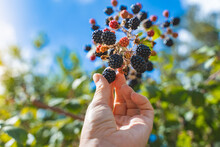 Woman Hand Grabbing Blackberries From The Brambles In The Forest. Grow Your Own Food Concept.