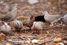 Close-up Of A Group Of Spotted Doves (pigeons) Eating Grain In The Rain In Adelaide, South Australia
