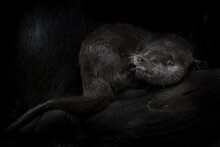 Beautiful Otter On A Black Background, Wood Stone Combed Out Wet Strong Body, Nocturnal