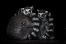 Two Ring Tailed Lemurs Hug And Look  From The Darkness, Male And Female