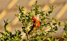 Northern Cardinal   Are Found Throughout Eastern United States. They Prefer Areas Of Overgrown Fields, Backyards, Forests Edges, Hedgerows, And Puts Nests In Dense Foliage.