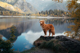 Fototapeta Kawa jest smaczna - dog at a mountain lake in autumn. Traveling with a pet. red Nova Scotia Duck Tolling Retriever on nature background
