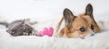Couple Of Friends A Striped Cat And A Corgi Dog Puppy Are Lying On A White Bed Next To Knitted Hearts