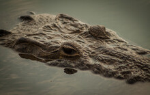 Iguana Verde Escamosa En Su Habitat