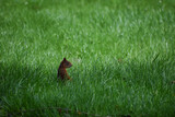 Fototapeta Zwierzęta - Wiewiórka w trawie