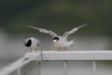 翼を伸ばし羽根を毛羽立たせるコアジサシ