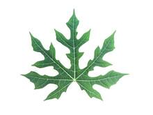 Chaya Or Cnidoscolus Aconitifolius Leaf On Isolated White Background