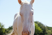 Young White Horse With Blue Eyes And Pink Nose Close Up In Summer Sun.