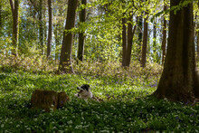 Border Collie Dog On A Carpet Of Wild Garlic (Allium Ursinum) And Bluebells (Hyacinthoides Non-scripta) Beneath Beech Trees (Fagus Sylvatica) In New Spring Leaf, Wildhams Wood, Stoughton, West Sussex